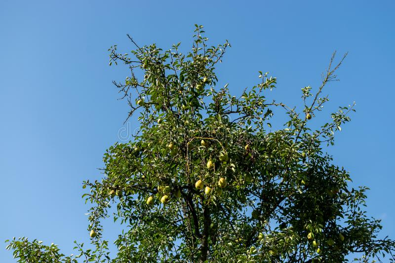 Pear on a tree in the garden organic farm products Summer Autumn. Image stock image