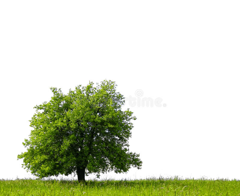 Pear tree on green field. Isolated against a white background royalty free stock image