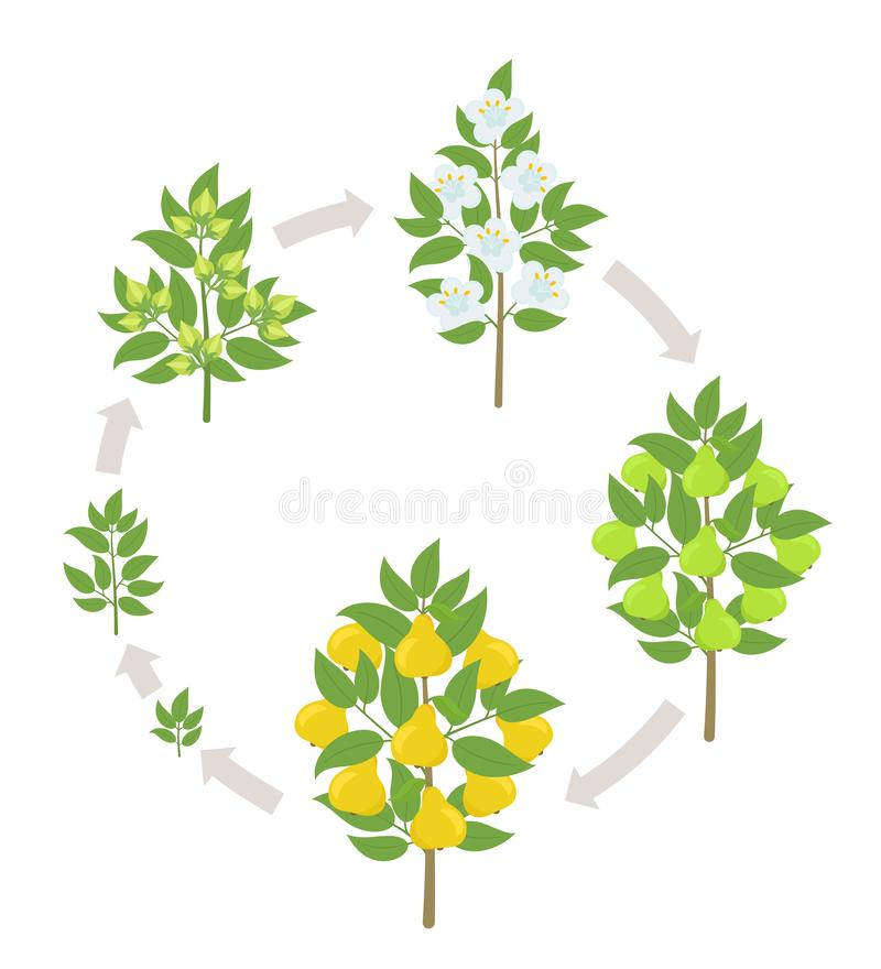 Pear tree growth stages. Vector illustration. Ripening period progression. Pear fruit tree life cycle animation plant. Pear tree growth stages. Ripening period stock illustration