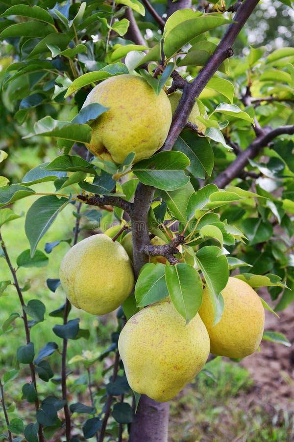 Pear tree stock photography