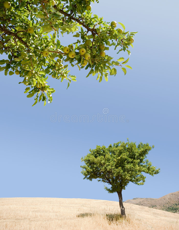 Pear tree and ripening fruits stock image