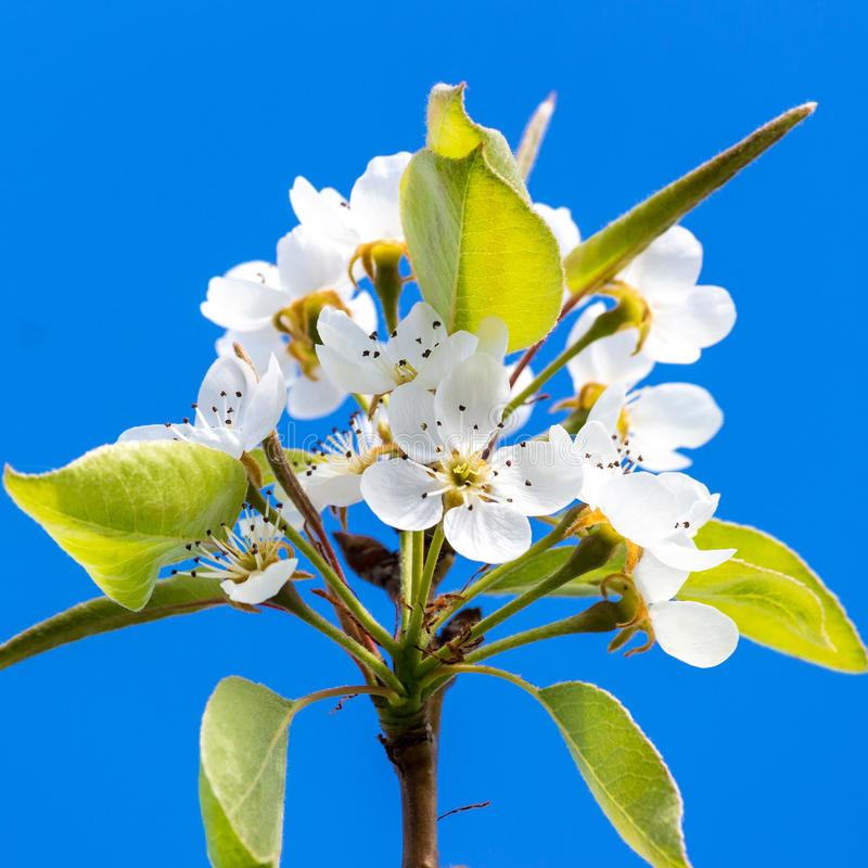 Pear tree`s flower stock photos