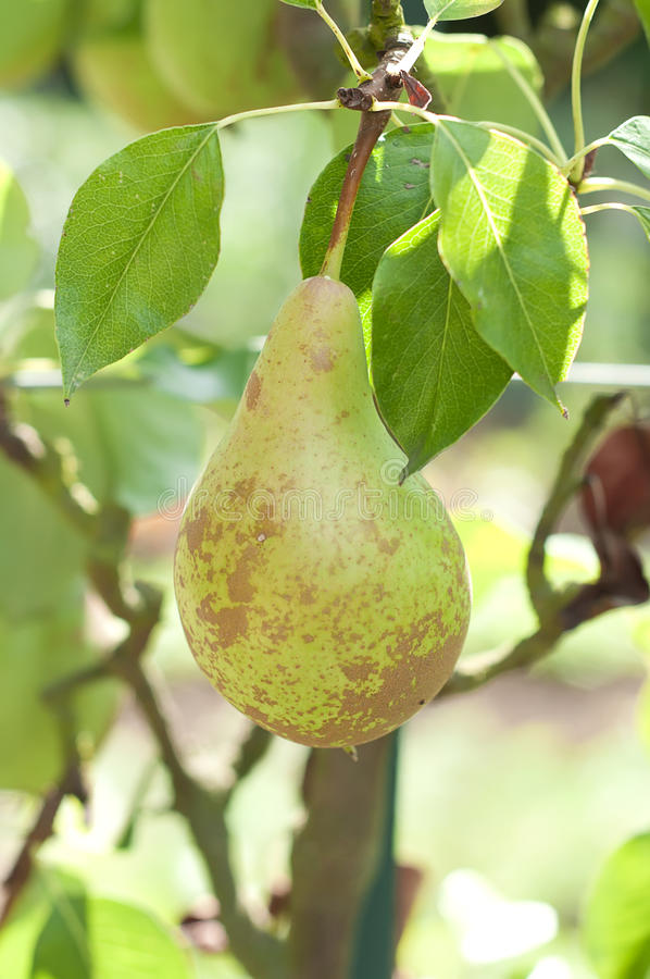Pear on the tree, variety Conference, close up stock photography