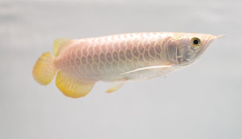 Download Pearl Arowana stock image. Image of freshwater, pearl - 26948779