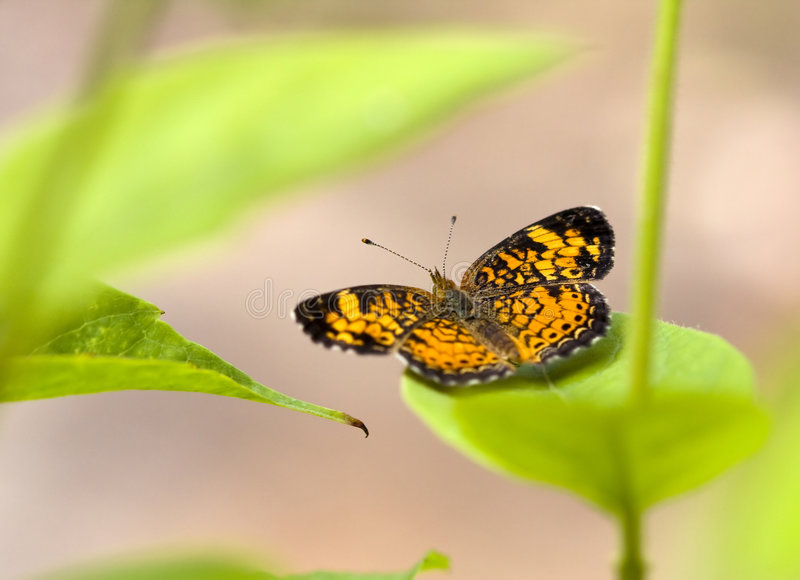Pearl Crescent royalty free stock photos