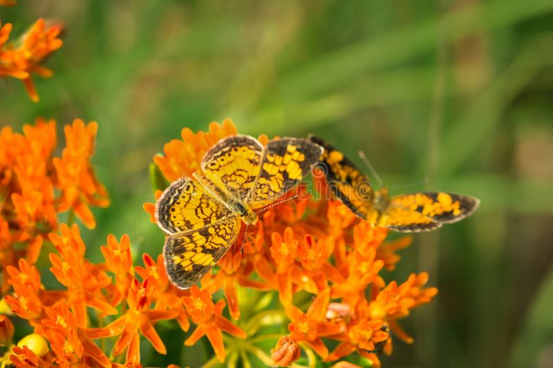 Pearl crescent butterflies on milkweed plant royalty free stock photo