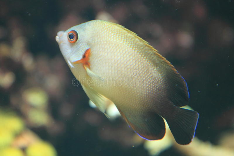 Download Pearl-scaled angelfish stock photo. Image of pearlscale - 28992450
