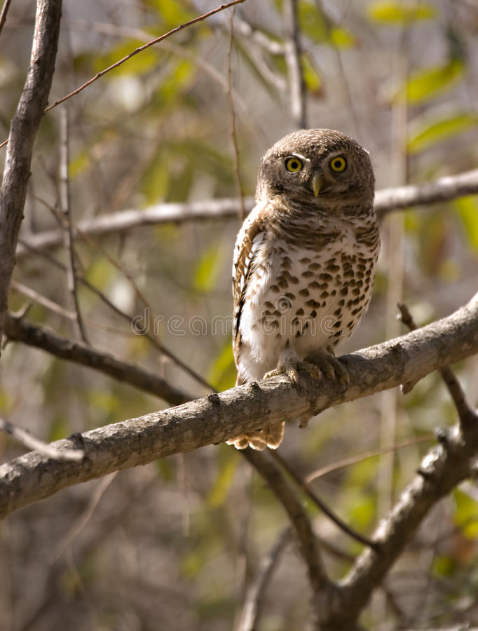 Pearl spotted owlet stock photography