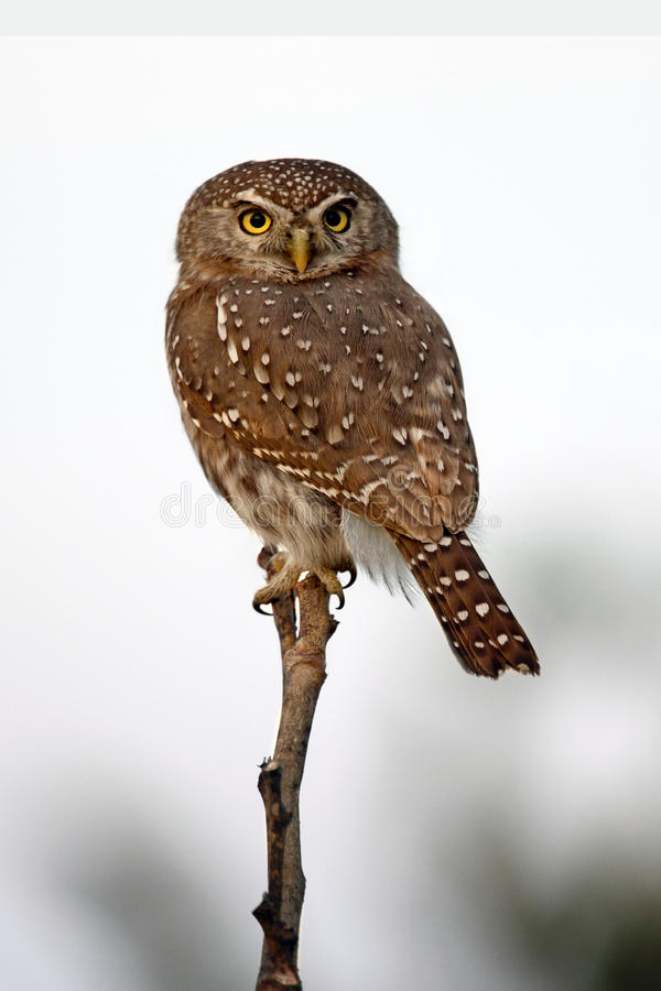 Pearl-Spotted Owlet - Savuti - Botswana stock photos