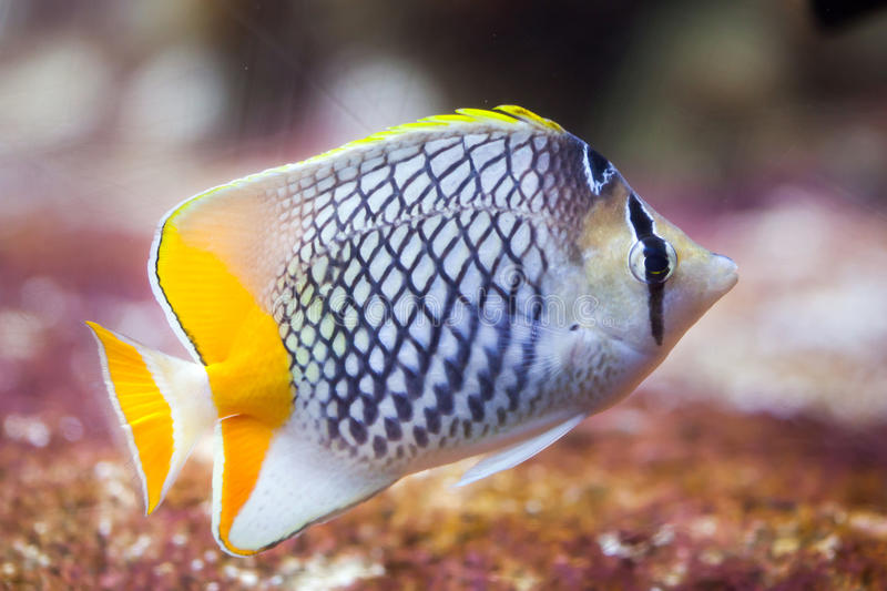 Pearlscale butterflyfish Chaetodon xanthurus. Also known as the Philippines chevron butterflyfish royalty free stock image