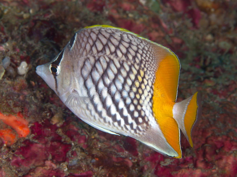 Pearlscale butterflyfish stock images