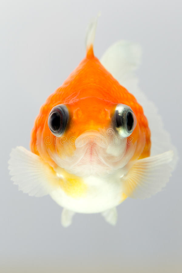 Pearlscale goldfish face stock photo image of shape for Fish and pets unlimited