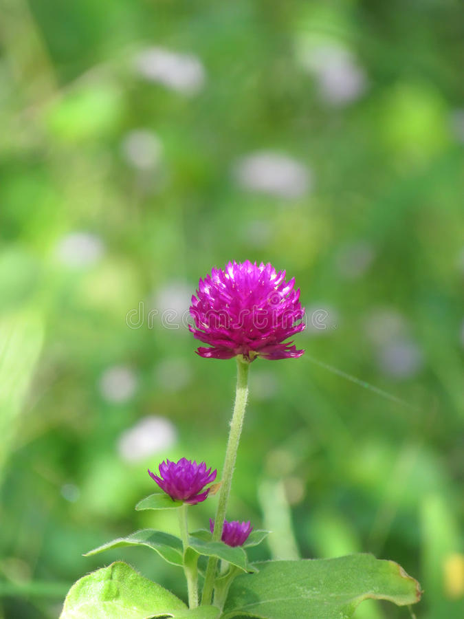 Pearly everlasting, Bachelor's button, Button agaga, Globe amaranth, Medicinal plants. Pearly everlasting, Bachelor's button, Button agaga, Globe amaranth royalty free stock images