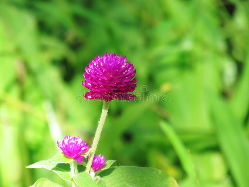 Pearly everlasting, Bachelor's button, Button agaga, Globe amaranth, Medicinal plants. Pearly everlasting, Bachelor's button, Button agaga, Globe amaranth royalty free stock image