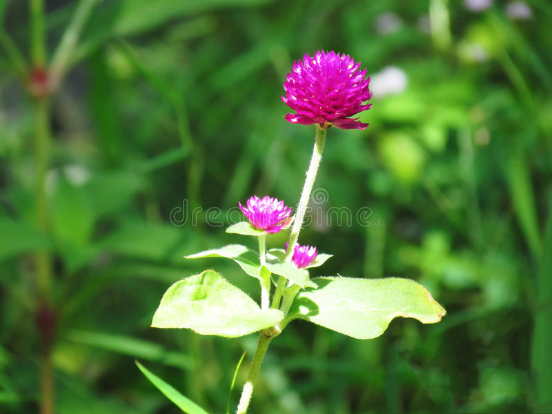 Pearly everlasting, Bachelor's button, Button agaga, Globe amaranth, Medicinal plants. Pearly everlasting, Bachelor's button, Button agaga, Globe amaranth stock images