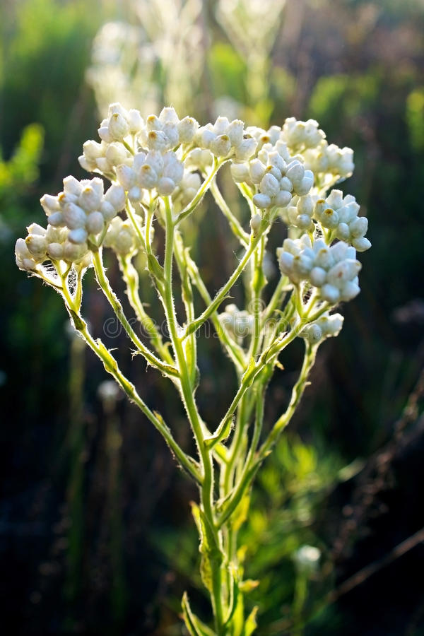 Pearly Everlasting flowers in bloom. Pearly Everlasting flowers are in full bloom under blue sky in 2017 California Super bloom stock photos