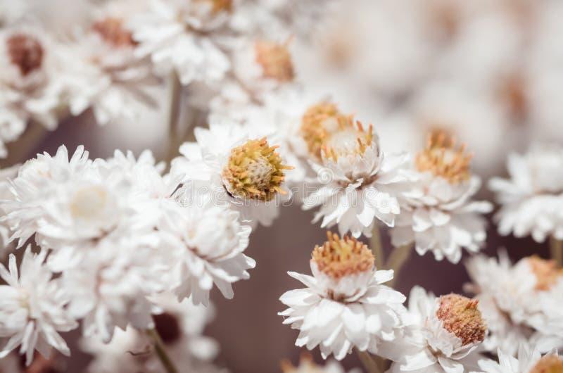 Pearly Everlasting White Flowers. Macro shot of pearly everlasting white flowers royalty free stock image
