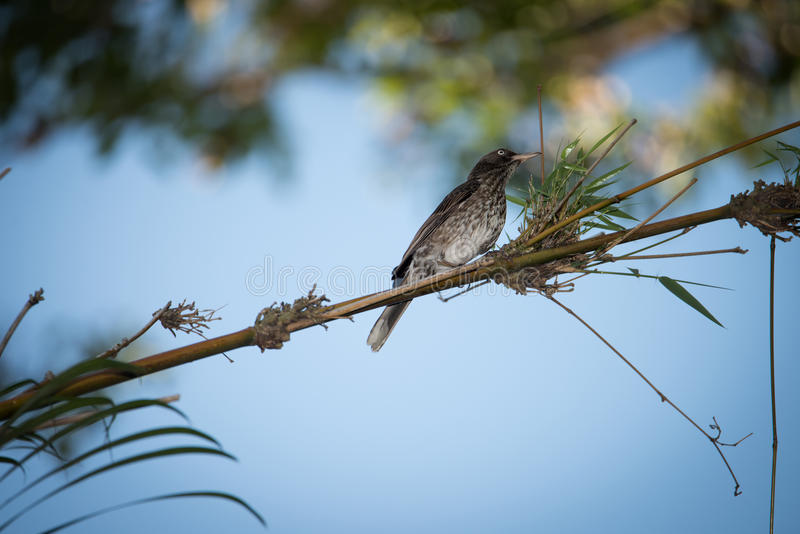 Pearly-eyed Thrasher. {Zorzal Pardo), (Margarops fuscatus) In a Banboo Tree royalty free stock photo