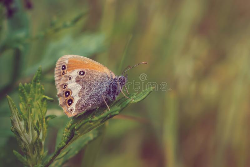 The pearly heath butterfly. Coenonympha arcania aka pearly heath butterfly stock photos