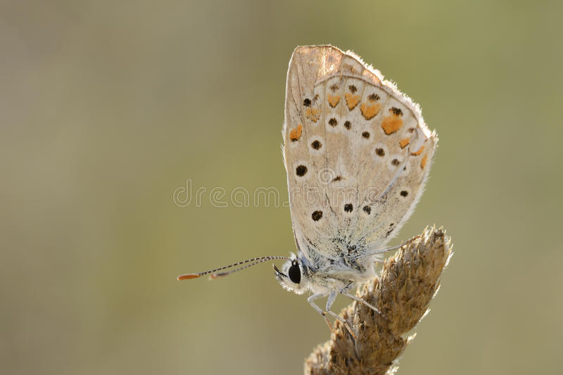Pearly Heath butterfly. Close up from a Pearly Heath butterfly royalty free stock images