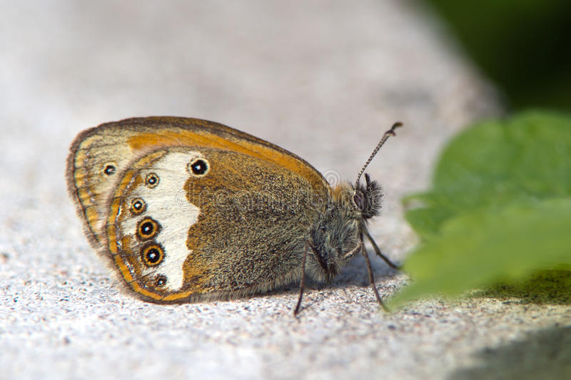 The Pearly Heath (Coenonympha arcania) stock photography