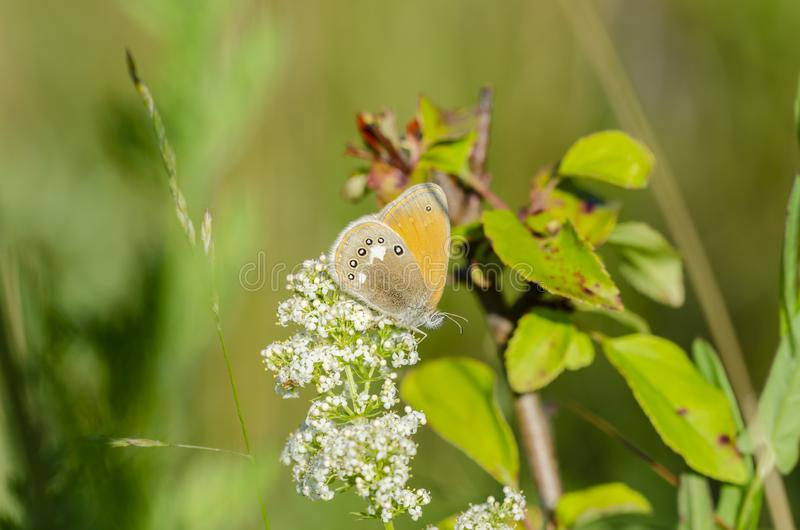 Pearly Heath feeding on white flower. Pearly Heath Coenonympha arcania feeding on white flower in field at sunny day. Close up royalty free stock images