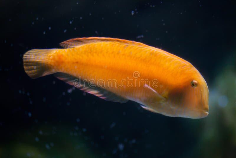 Pearly razorfish (Xyrichtys novacula). Pearly razorfish (Xyrichtys novacula), also known as the cleaver wrasse royalty free stock photography