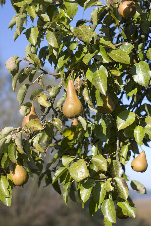 Download Pears Stock Photography - Image: 24735562