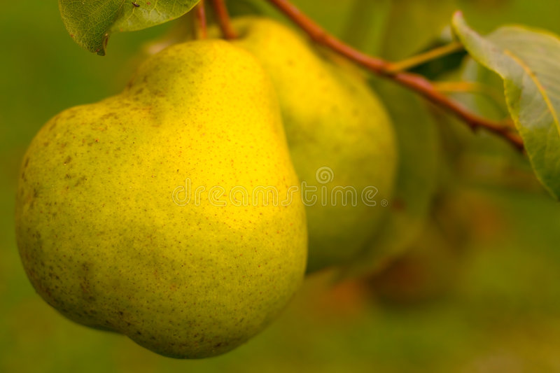 Download Pears stock photo. Image of color, snack, healthy, naural - 39984