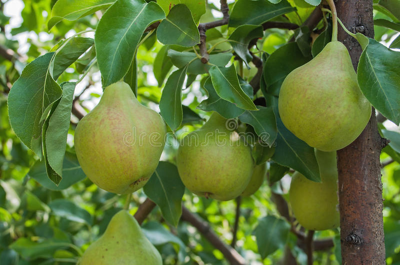 Download Pears on branch. stock image. Image of colors, harvesting - 34716339