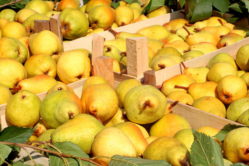 Pears in crates. Freshly picked Williams pears in wooden crates stock photos