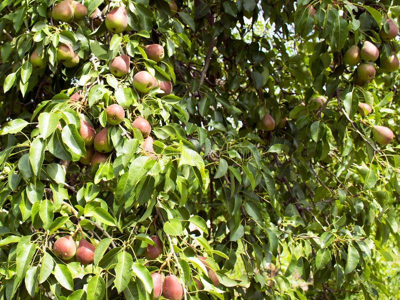 ..Pears grow on a tree. Ripe and juicy fruits. Harvesting. Vegetarianism. Gardening royalty free stock photos