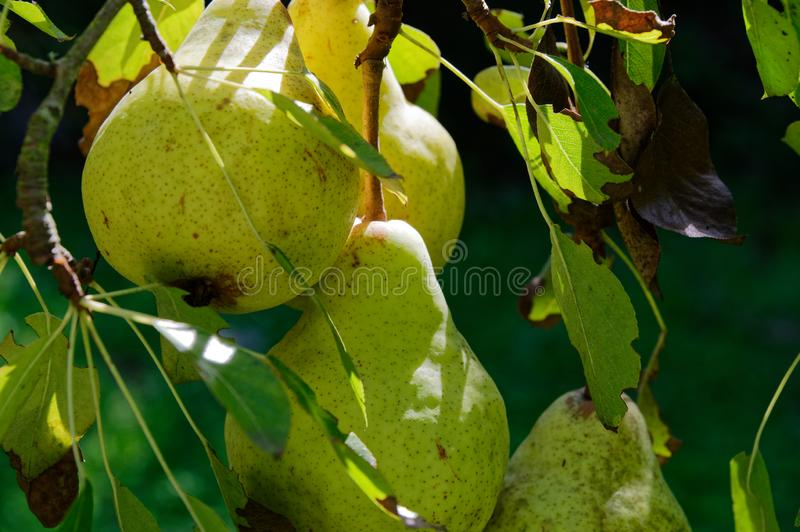 Pears growing in a home garden, nothing beats tree ripened fruit royalty free stock photography