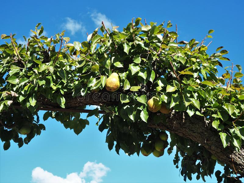 Pears growing on a trained branch stock images
