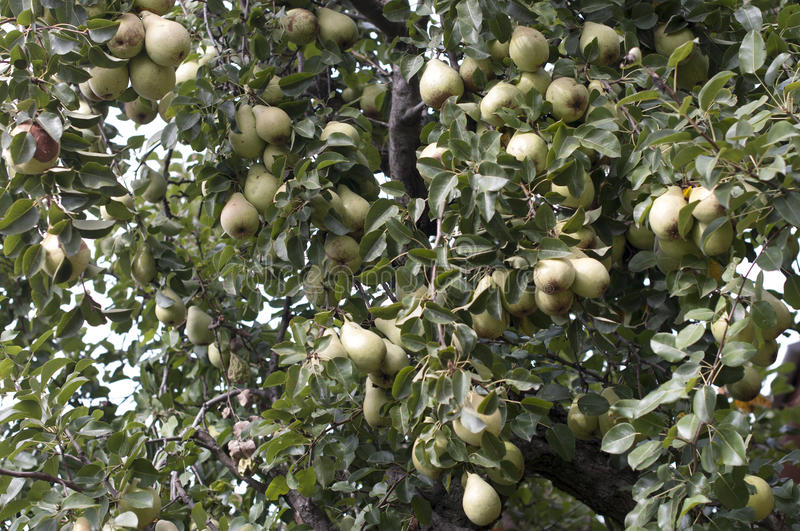Download Pears stock image. Image of freshness, resky, nature - 35479731