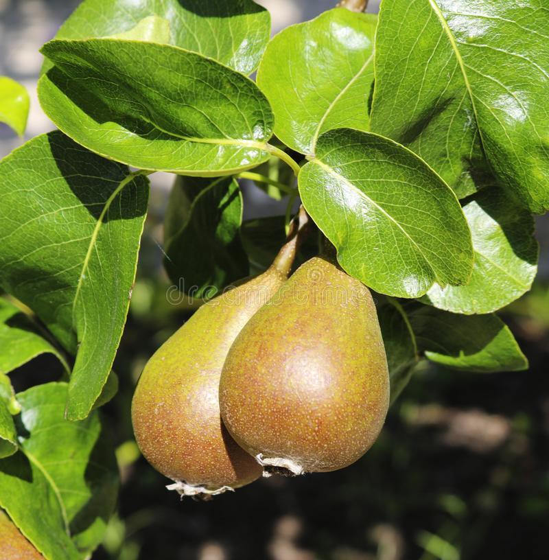 Pears and pear tree. stock photos
