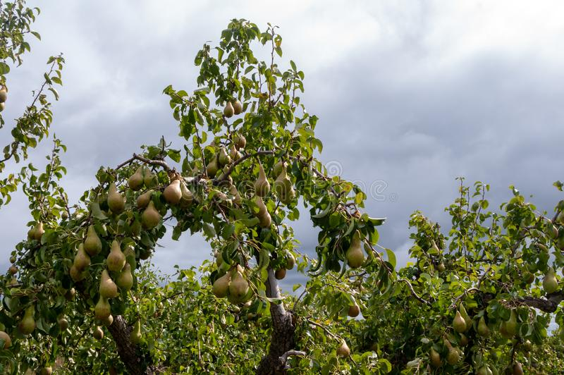 Pears on pear tree in Worcestershire. Pear trees growing in orchard with branches laden with ripe fruit ready for picking stock photo