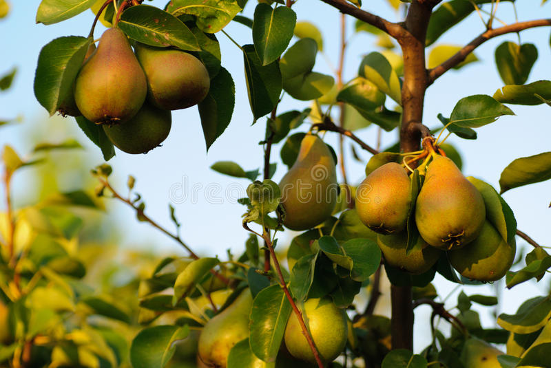 Download Pears on tree stock image. Image of leaves, growth, agriculture - 15729723