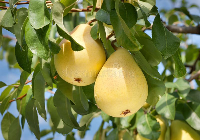 Pears on tree royalty free stock photos