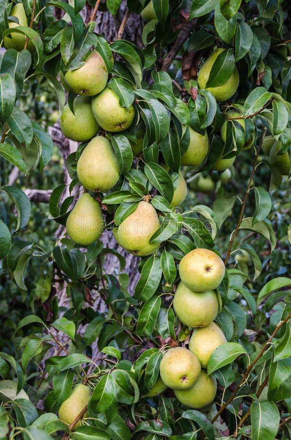 Pears on a Tree. Commercially grown pears ready for harvest royalty free stock photos