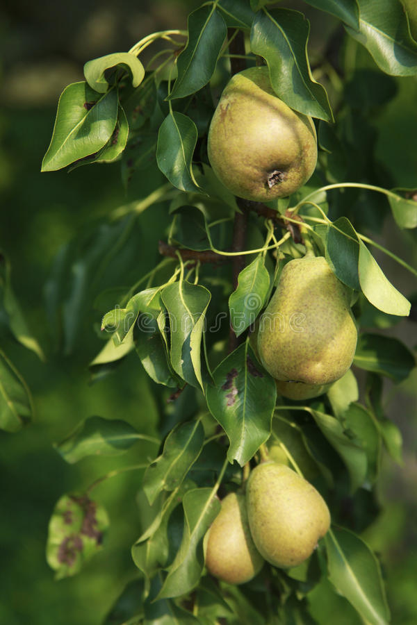 Pears on a tree, detail of fruit growing stock photography