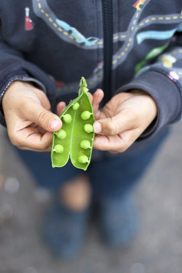 Download Peas stock image. Image of green, hands, peas, food, open - 26291501