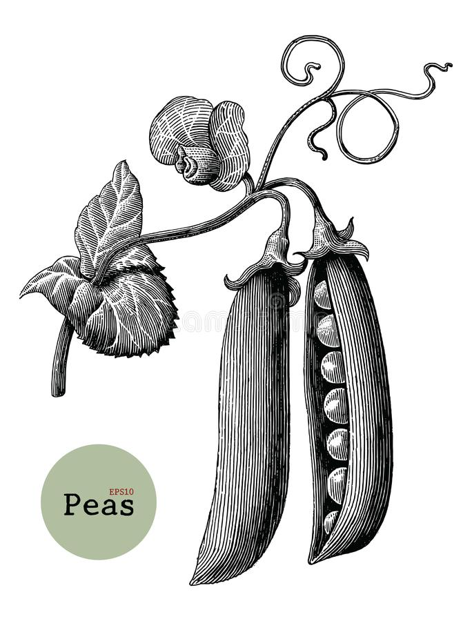 Peas branch hand drawing vintage engraving illustration. Isolated on white background vector illustration