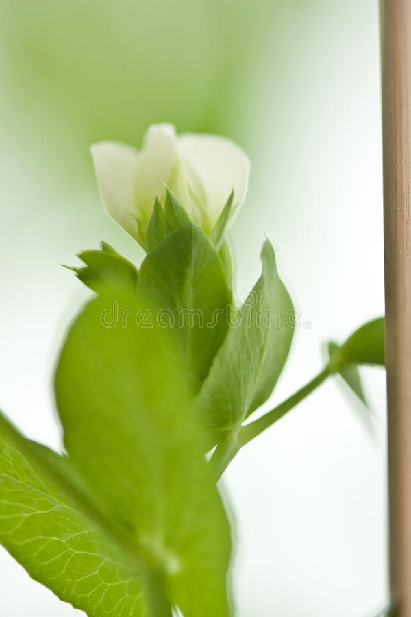 Peas flower. White peas flower on plant royalty free stock images