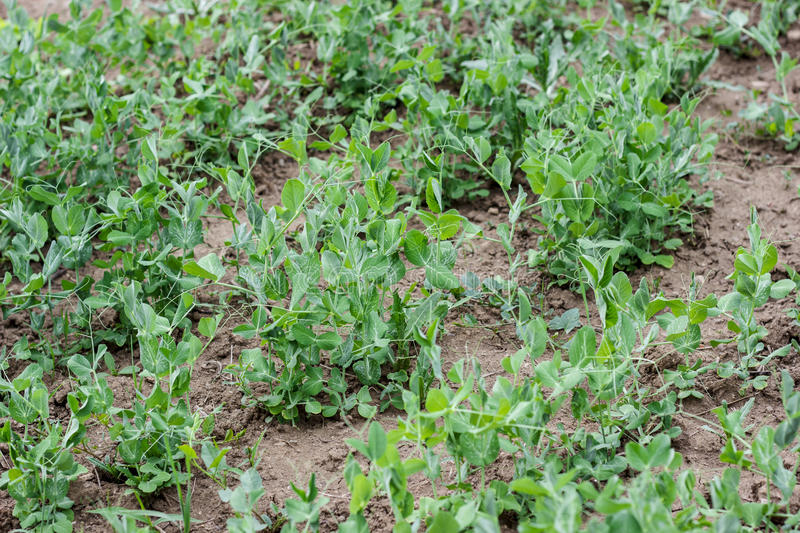 Peas plant in garden. Green peas plant in vegetable garden on the ground stock image