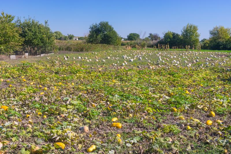 Peasant field with pumpkin. Using mostly as farm animal provender in Ukraine stock image