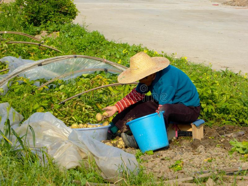 Peasant woman doing farm work in the field stock image