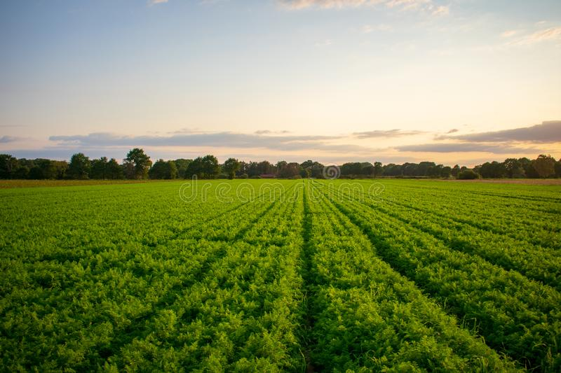 Peasantry with harvested carrots field at evening light. Location: Germany, North Rhine - Westphalia, Borken royalty free stock image
