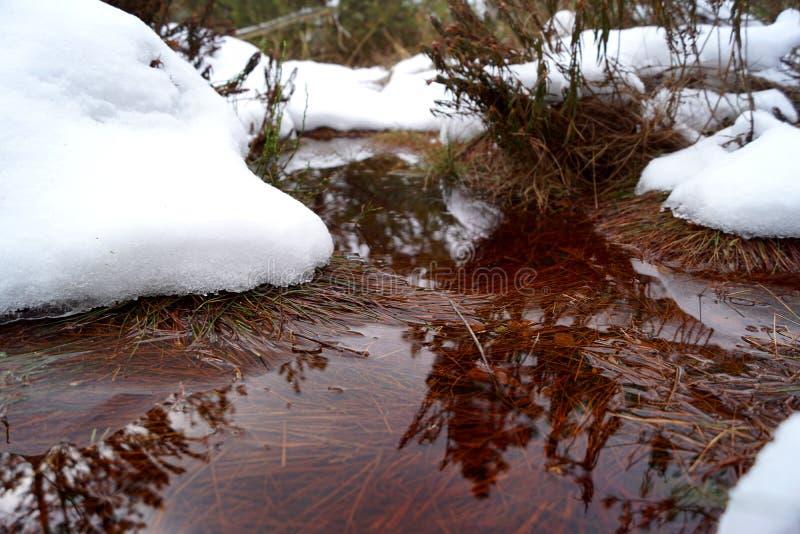 Peat bog, brown water, snow and Rhododendron tomentosum. Cervene blato, Trebonsko, South Bohemia stock image