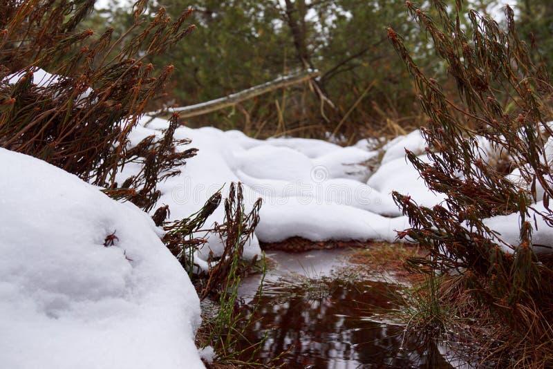 Peat bog, brown water, snow and Rhododendron tomentosum. Cervene blato, Trebonsko, South Bohemia royalty free stock photo